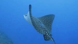 Eagle Ray in Amed | Diving Amed Bali | Alpha World Diving