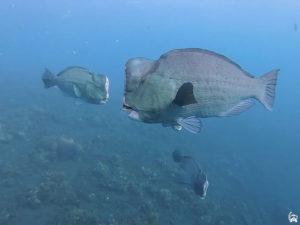 Bumphead Fish in Bali | Bali Diving Sanur | Alpha World Diving