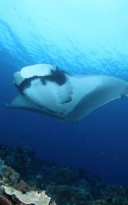 Ray Manta in Bali | Manta Point Bali | Alpha World Diving