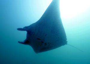 Ray Manta in Nusa Penida | Alpha World Diving