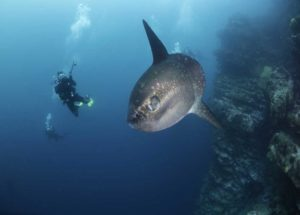 Mola Mola when Diving in Nusa Penida | Alpha World Diving