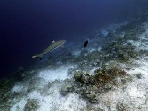 Shark | Diving Around Bali | Alpha World Diving