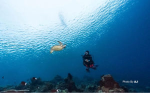 turtle in derawan, Kalimantan   Alpha World Diving