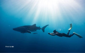 Diving with Whale Shark | Diving Indonesia | Alpha World Diving