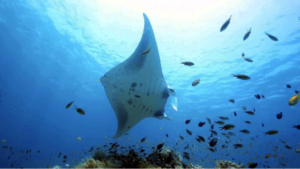 Manta Ray in Nusa Penida Bali | Best Bali Snorkeling Tours | Alpha World Diving